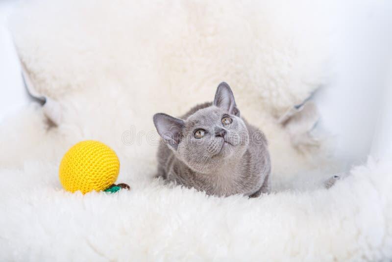 European Burmese cat gray kitten ,sitting on the white fur royalty free stock images