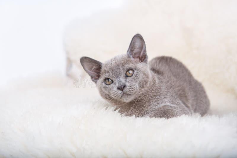 European Burmese cat gray kitten ,sitting on the white fur. European Burmese cat gray kitten looking up,sitting on the white fur royalty free stock images