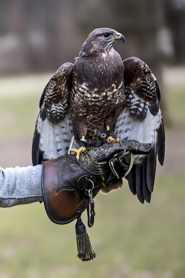 Portrait of buteo buteo. European buteo buteo on falconer glove stock photos