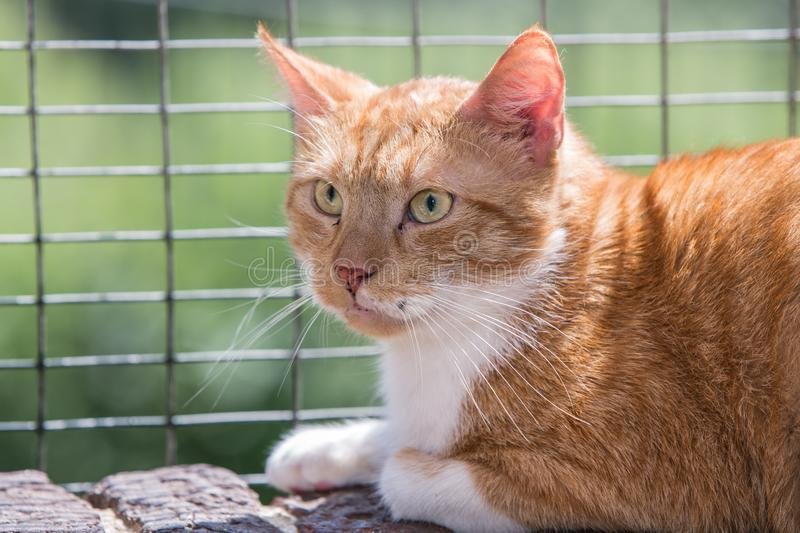 European cat in animal shelter. Portrait of european type cat in animal shelter in belgium stock photos