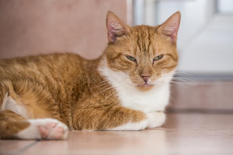 European cat living in belgium. Portrait of an european cat in animal shelter in belgium stock photos