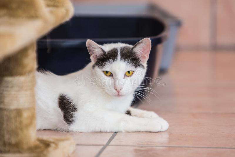 European cat living in belgium. Portrait of an european cat in animal shelter in belgium stock photo