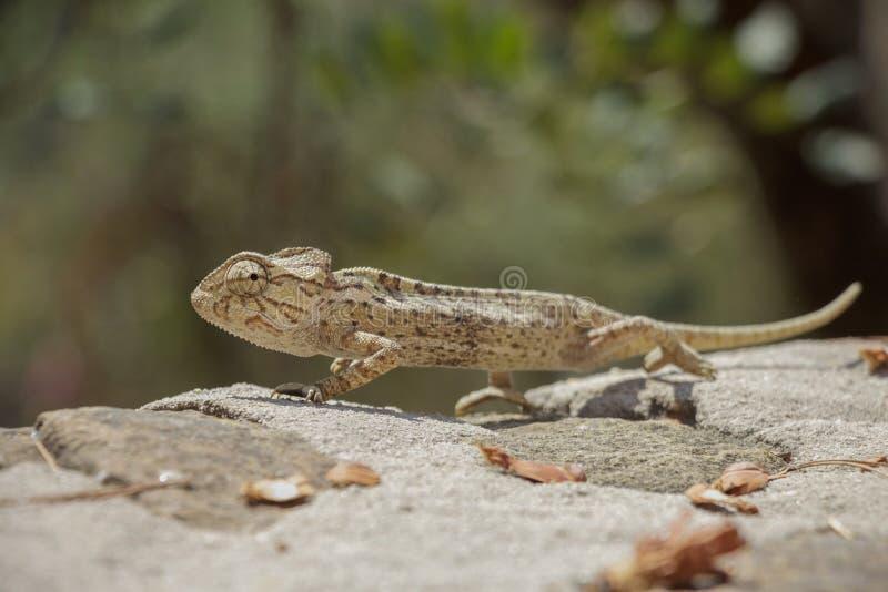 Chameleon european stock image