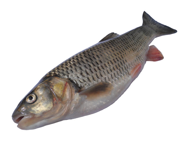 European chub. Close up of european chub (Squalius cephalus) species of freshwater fish in the carp family Cyprinidae, focus on head. White background, avalaible stock photo