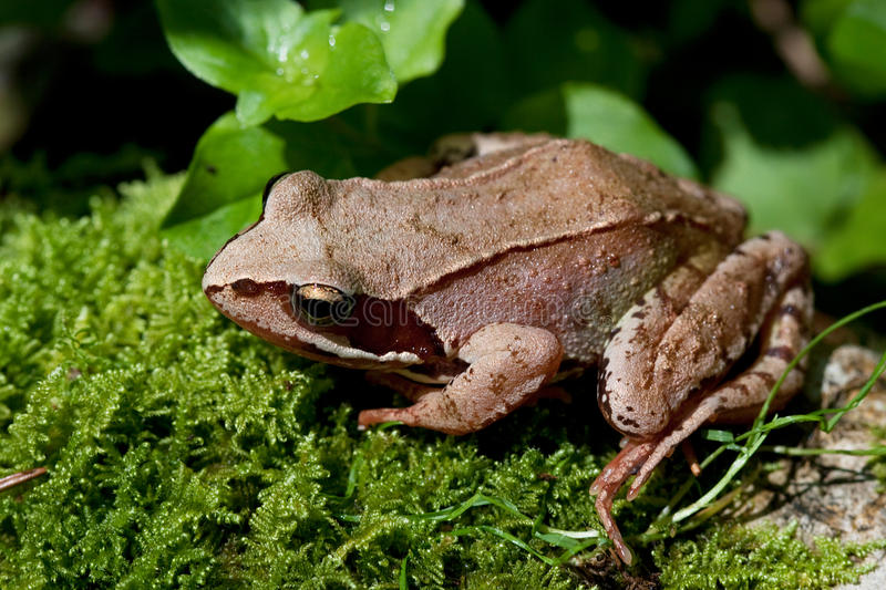 European Common Brown Frog, Rana temporaria stock photos