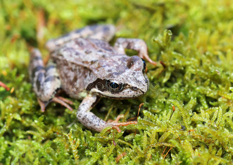 European common frog on green moss background royalty free stock image
