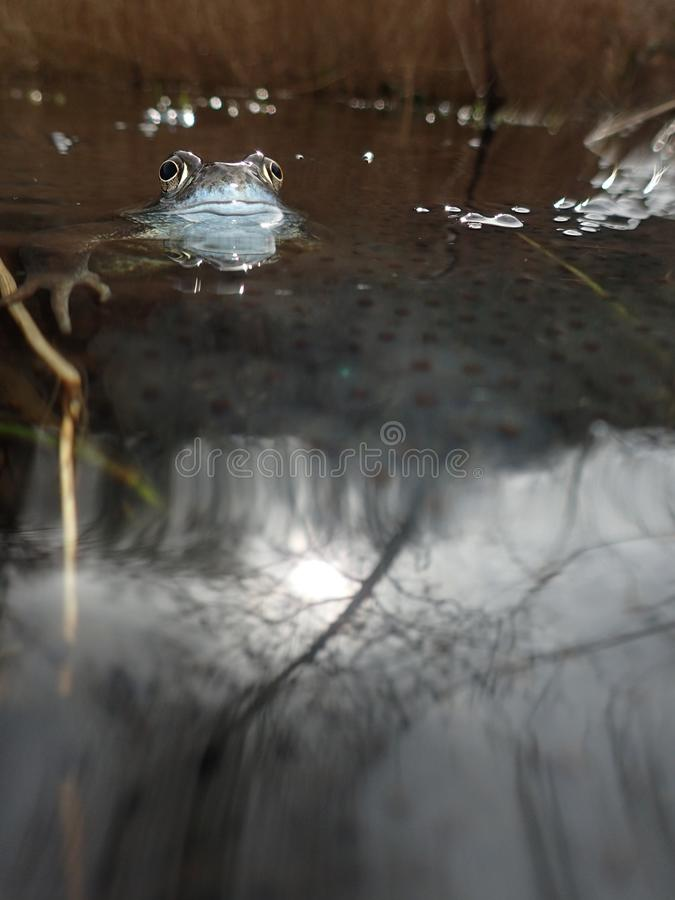 European or common frog, Rana temporaria, surrounded by frogspawn. Blackford Pond, Edinburgh. European or common frog, Rana temporaria, partially submerged in a royalty free stock image