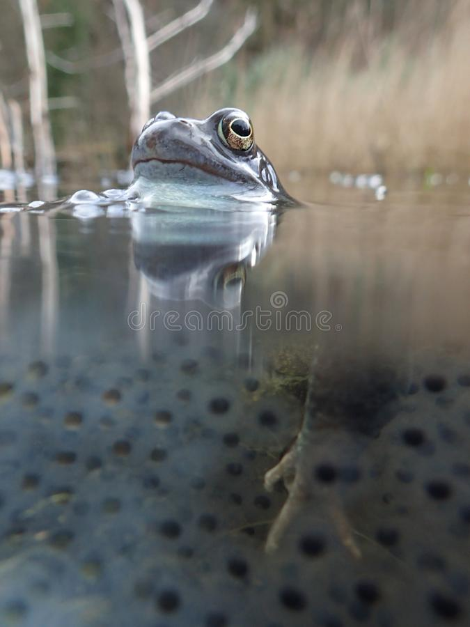 European or common frog, Rana temporaria, surrounded by frogspawn. Blackford Pond, Edinburgh. European or common frog, Rana temporaria, partially submerged in a stock images