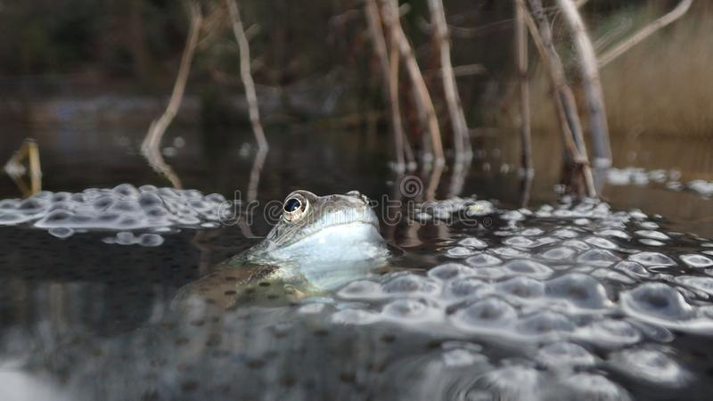 European or common frog, Rana temporaria, surrounded by frogspawn. Blackford Pond, Edinburgh. European or common frog, Rana temporaria, partially submerged in a stock photo