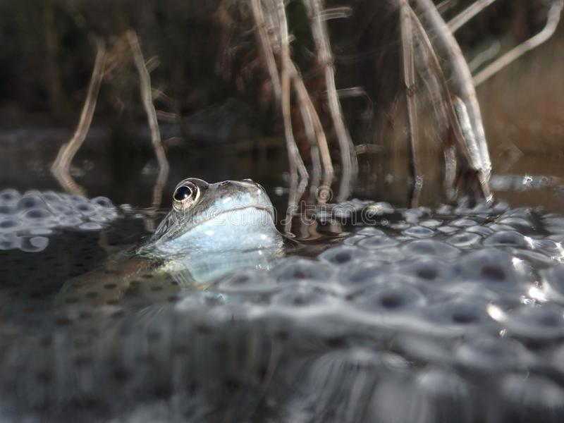 European or common frog, Rana temporaria, surrounded by frogspawn. Blackford Pond, Edinburgh. European or common frog, Rana temporaria, partially submerged in a royalty free stock photography