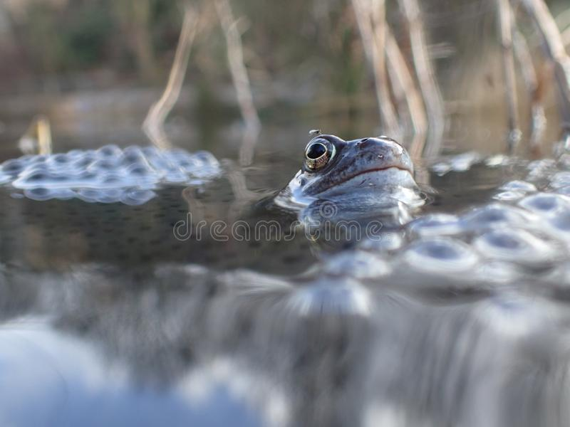 European or common frog, Rana temporaria, surrounded by frogspawn. Blackford Pond, Edinburgh. European or common frog, Rana temporaria, partially submerged in a royalty free stock photo