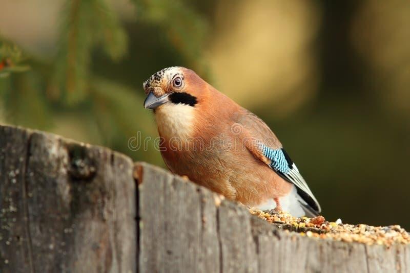 European common jay at feeder royalty free stock image