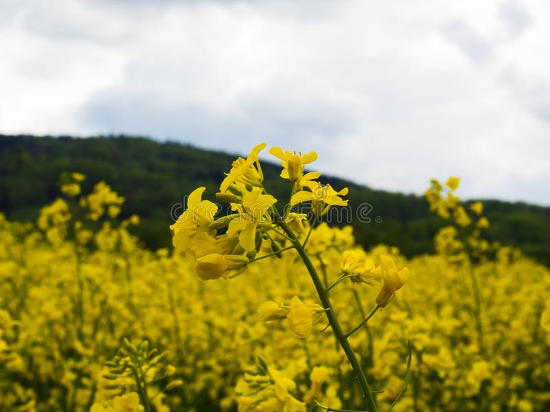 European countryside yellow rape field oilseed. Czech countryside yellow rape seed oil field country biofuel biodiesel agriculture planting rural rapeseed stock images
