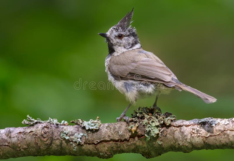 European Crested Tit backview posing on an old lichen crusted branch in the summer wood. European Crested Tit back view posing on an old lichen covered branch in stock photo