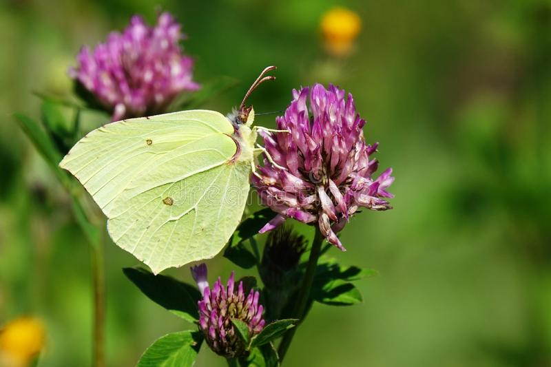 Gonepteryx rhamni close-up photo. European day butterfly Gonepteryx rhamni on spring day stock image