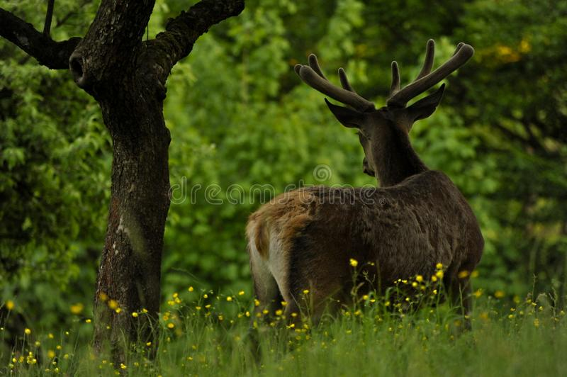 Deer on the meadow by forest with flower stock images