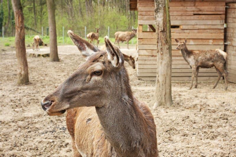 Download European deer in zoo stock photo. Image of mammals, goat - 19112916
