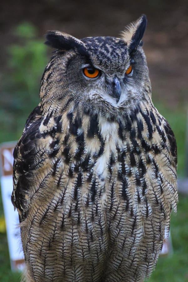 Download European eagle owl stock image. Image of eurasia, beak - 27264063