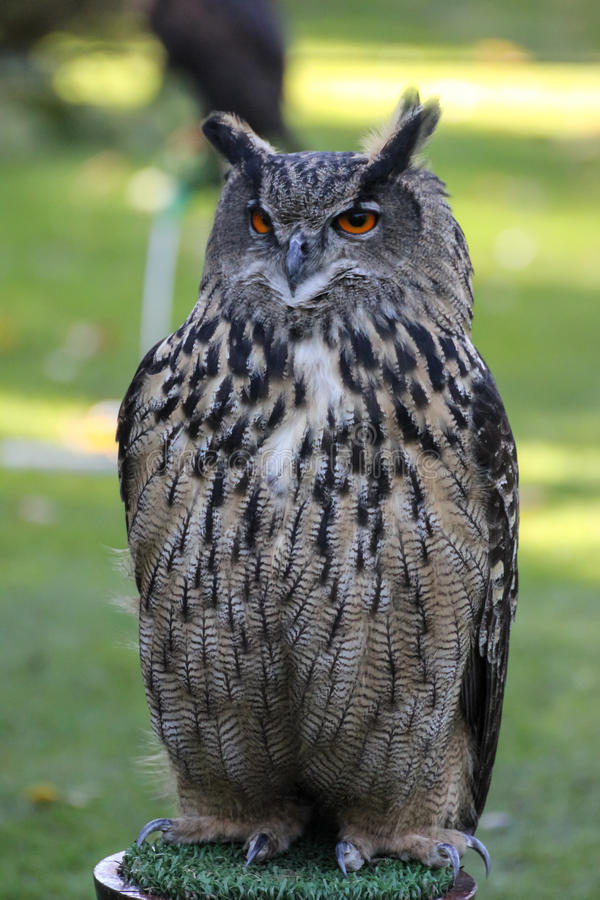 European eagle owl stock images