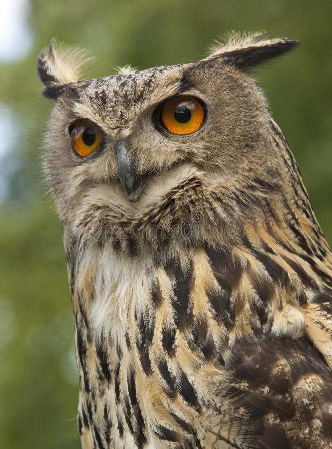 European Eagle Owl (Buba bubo) stock images
