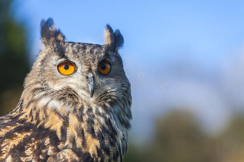 European Eagle Owl. European or Eurasian Eagle Owl, Bubo Bubo, with big orange eyes royalty free stock image