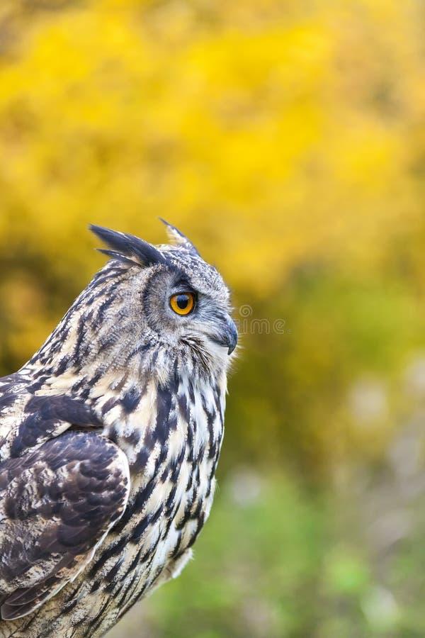 European Eagle Owl stock images
