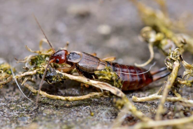 European Earwig Crawling over twigs stock photography