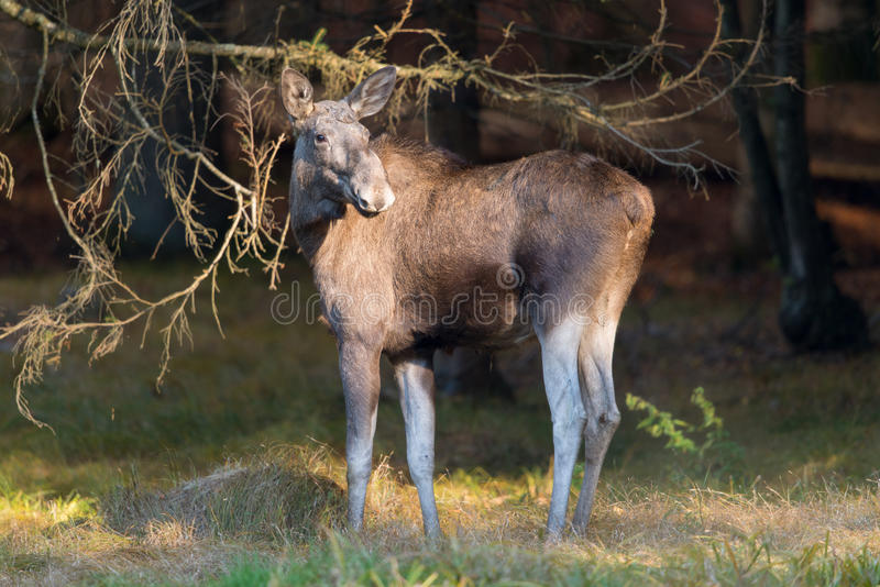 European Elk Stock Photography