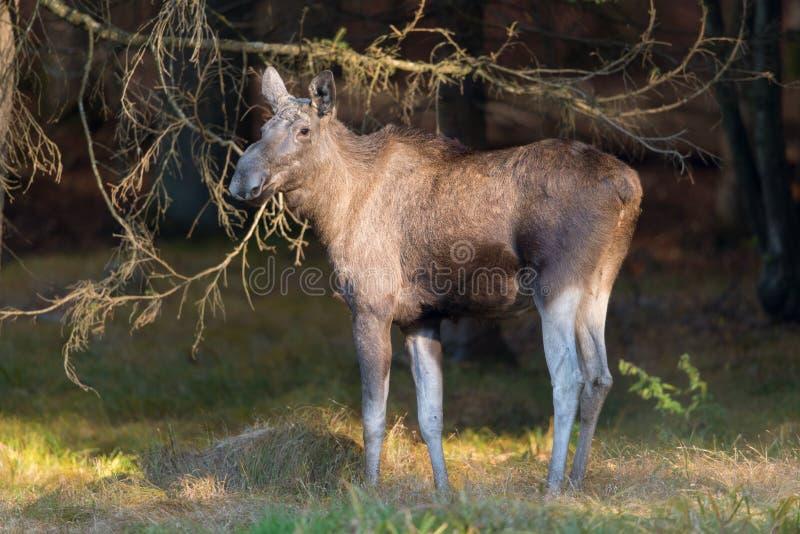 Download European Elk Stock Photo - Image: 27995250