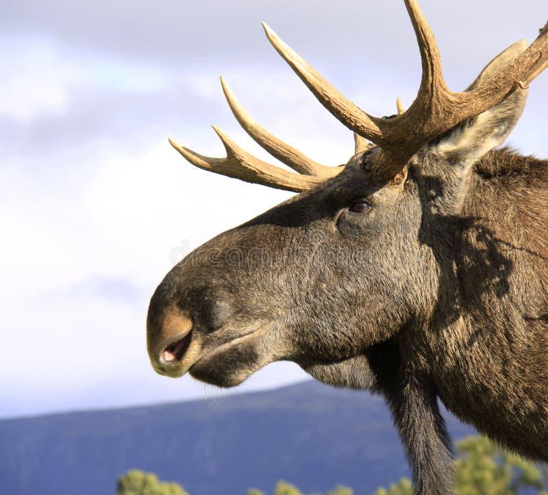 Vid. Hairy moose