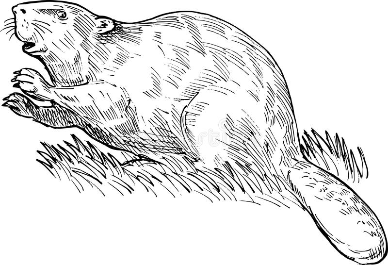 European or Eurasian beaver stock illustration