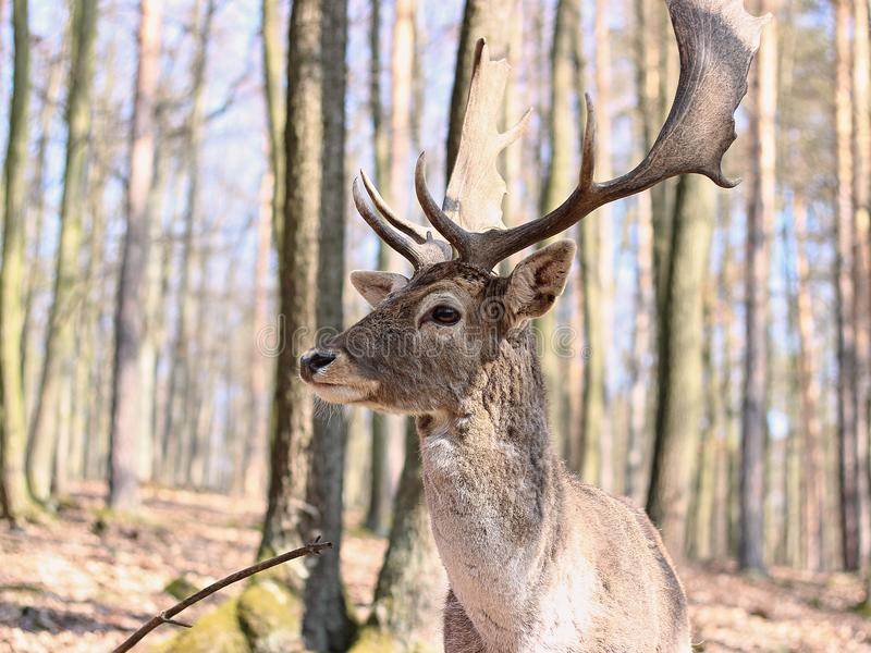 European Fallow Deer. In the forest stock image