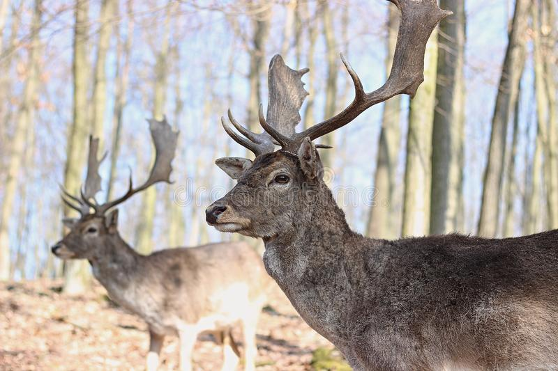 European Fallow Deer. In the forest royalty free stock photo