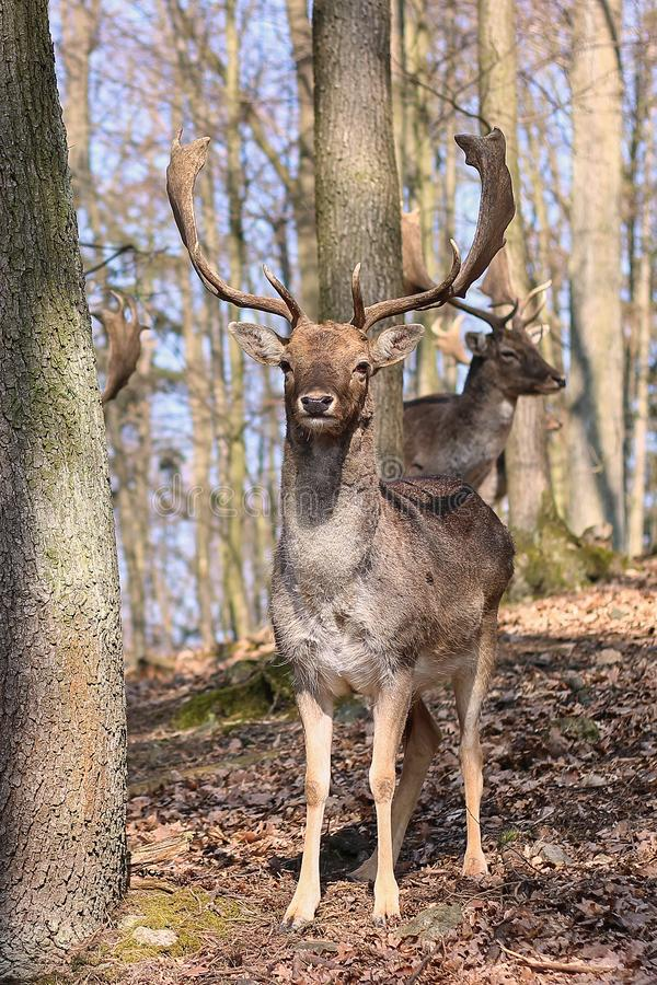 European Fallow Deer. In the forest stock photography