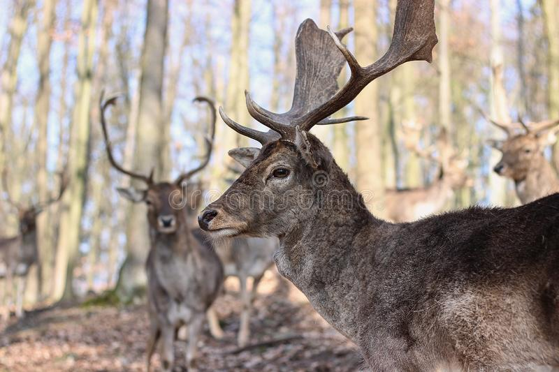 European Fallow Deer. In the forest stock images
