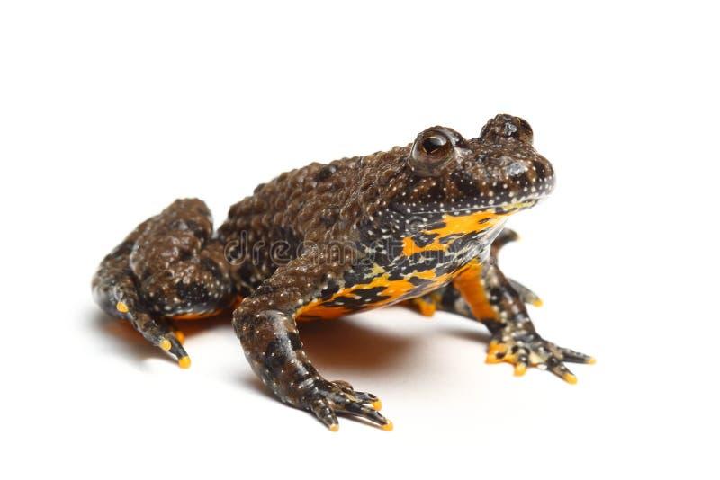 European Fire-bellied Toad (Bombina bombina) stock photos