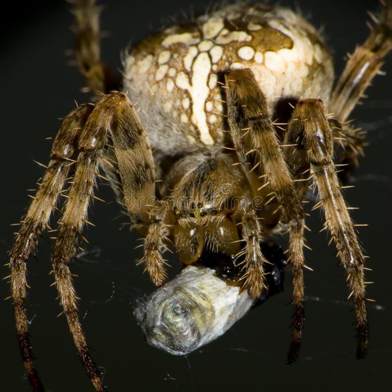Download European garden spider stock image. Image of close, brown - 18479079