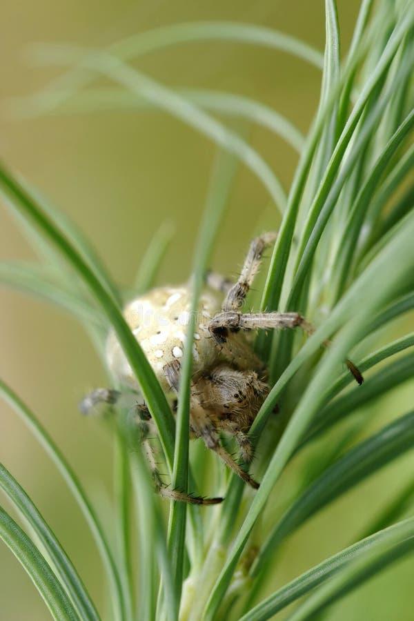 Download European garden spider stock photo. Image of garden, spiderweb - 24354162