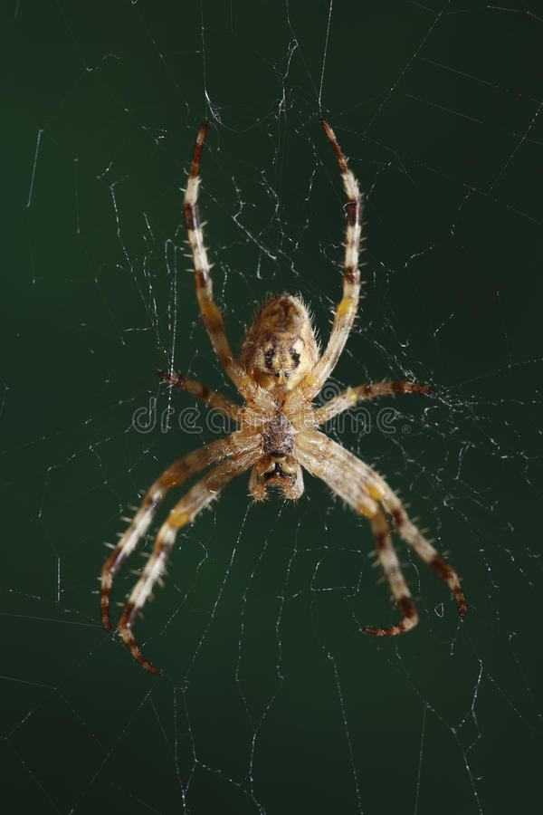 The European Garden Spider Royalty Free Stock Image