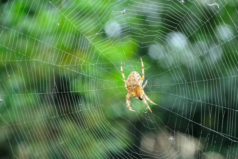 European garden spider in its web royalty free stock images