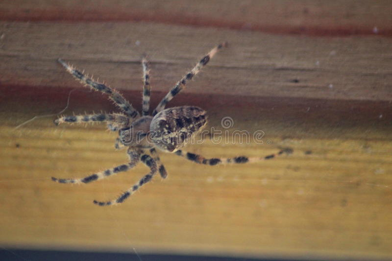 European garden on wood. Europien garden spider, Araneus diadematus, eating a fly in fron of the window, in the netherlands stock image