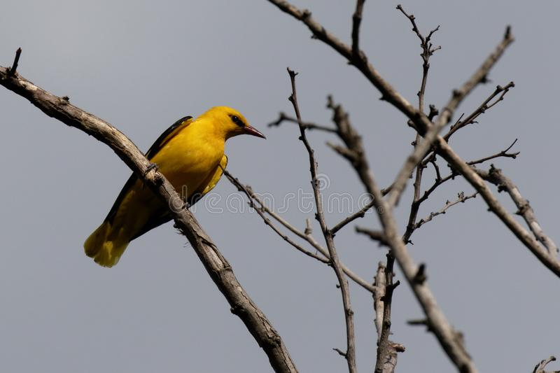 The European Golden Oriole bird on a branch. The European Golden Oriole is some larger than Common Starling royalty free stock photography