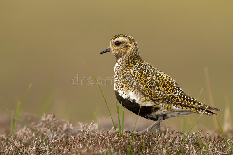 European Golden plover (Pluvialis apricaria). Golden plover (Pluvialis apricaria), adult in breeding plumage, Shetland stock photography