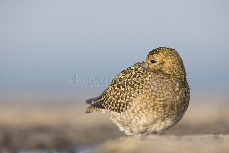 An European golden plover Pluvialis apricaria resting in the morning sun on the Island Heligoland- With golden coloured feathers. An European golden plover royalty free stock photos