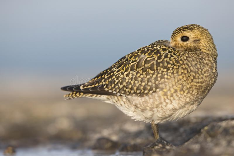 An European golden plover Pluvialis apricaria resting in the morning sun on the Island Heligoland- With golden coloured feathers. An European golden plover royalty free stock photo