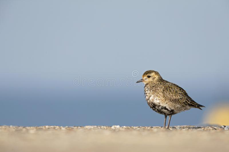 An European golden plover Pluvialis apricaria resting in the morning sun on the Island Heligoland- With golden coloured feathers. An European golden plover stock photo