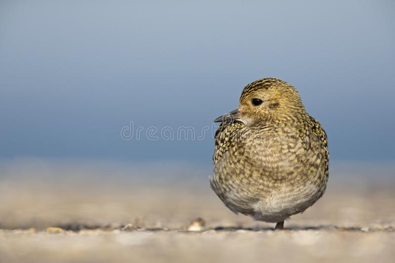 An European golden plover Pluvialis apricaria resting in the morning sun on the Island Heligoland- With golden coloured feathers. An European golden plover stock images