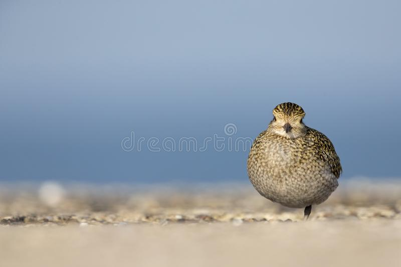 An European golden plover Pluvialis apricaria resting in the morning sun on the Island Heligoland- With golden coloured feathers. An European golden plover royalty free stock image