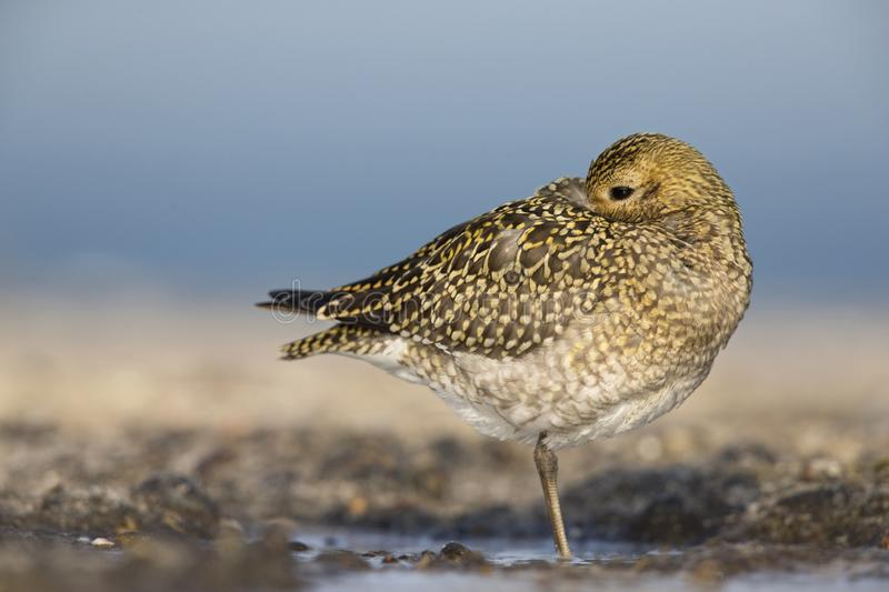 An European golden plover Pluvialis apricaria resting in the morning sun on the Island Heligoland- With golden coloured feathers. An European golden plover stock image