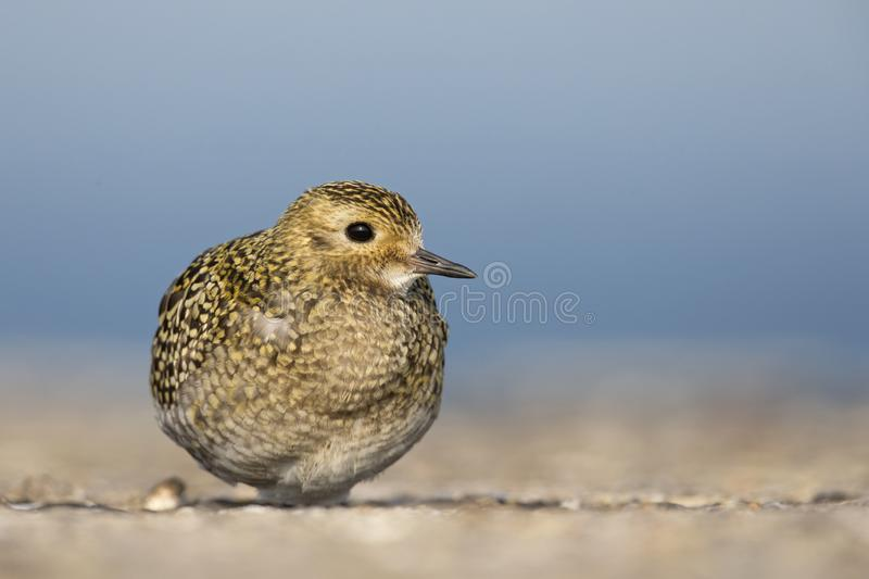An European golden plover Pluvialis apricaria resting in the morning sun on the Island Heligoland- With golden coloured feathers. An European golden plover royalty free stock images